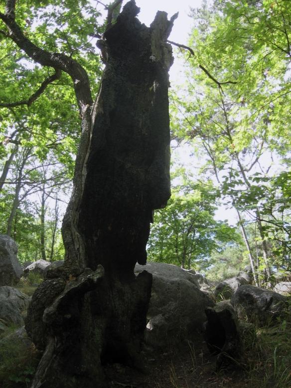 Ett träd i Nacka naturreservat, slagen av blixten men vackert ändå, fotograferat av min sambo.