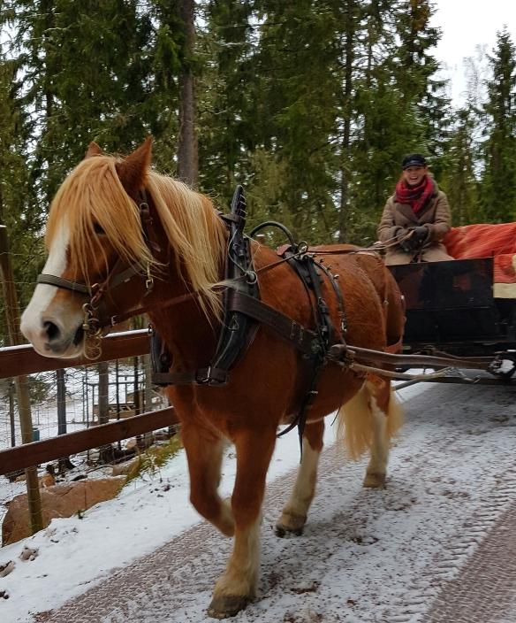 Snickars Emelie Eriksson kör med en av sina hästar på Tomteland